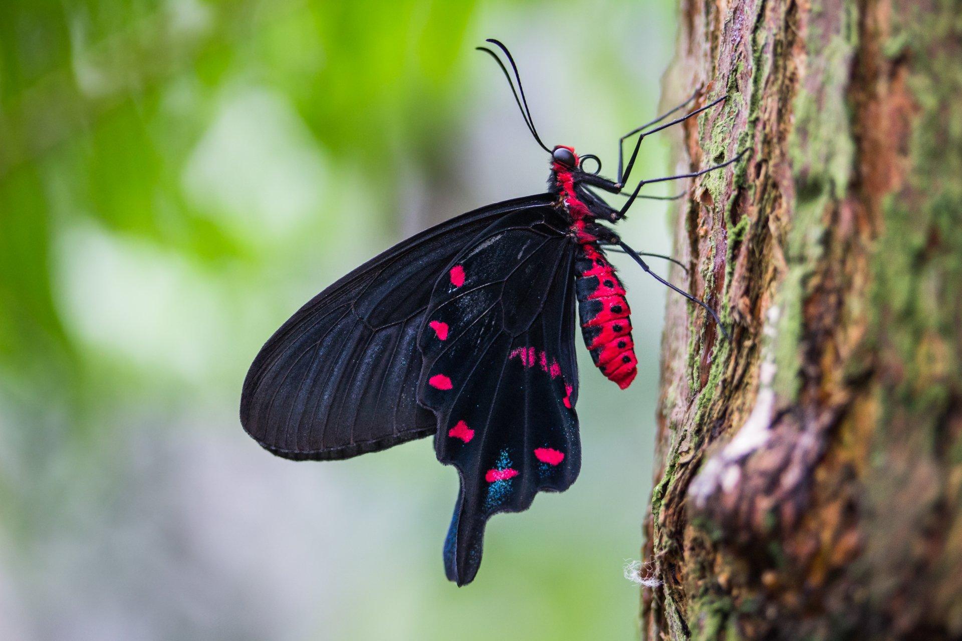 Black and Pink Butterfly 5k Retina Ultra HD Wallpaper ...