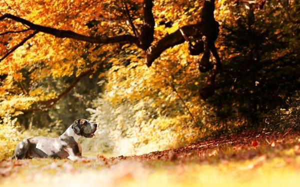 Animal Great Dane Dogs Dog Nature Branch Sunny Fall HD Wallpaper   Background Image