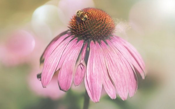 Animal Bee Insects Insect Flower Pink Flower Macro Bokeh HD Wallpaper   Background Image