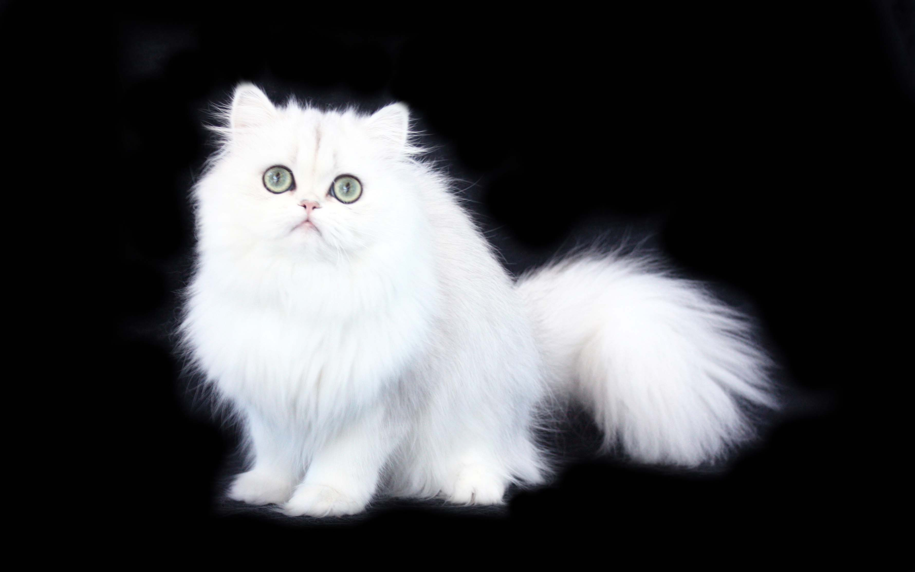 White Persian Cat Hd Wallpaper Background Image 3561x2228 Id 753556 Wallpaper Abyss