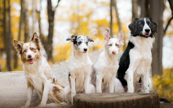 Animal Dog Dogs Bokeh Australian Shepherd Border Collie HD Wallpaper   Background Image