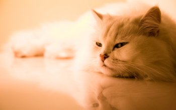 Animal - Cat Wallpapers and Backgrounds ID : 76069