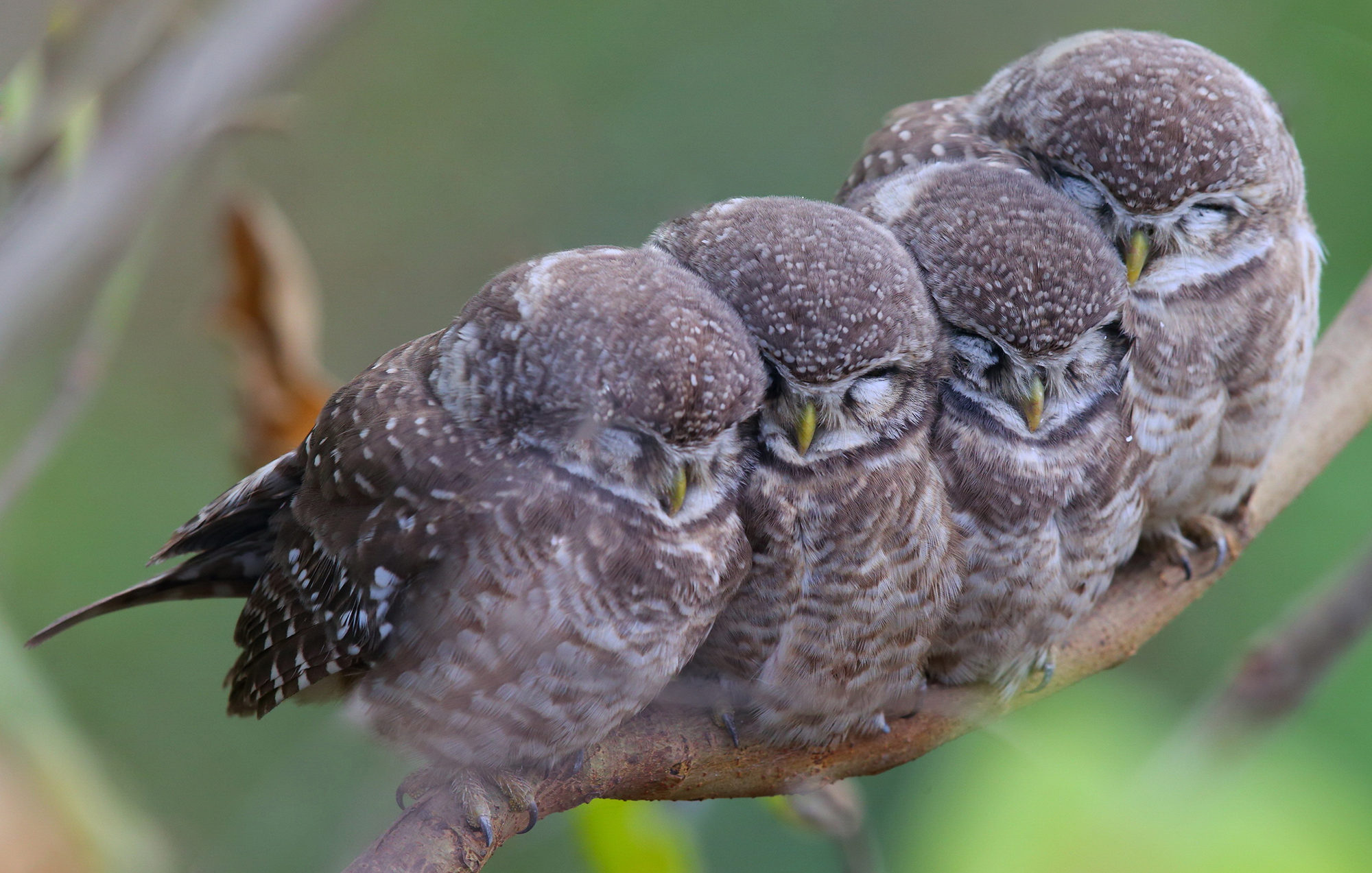 baby owls huddling on tree branch hd wallpaper background image