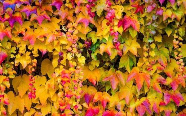 Earth Leaf Vine Ivy Fall Foliage HD Wallpaper | Background Image