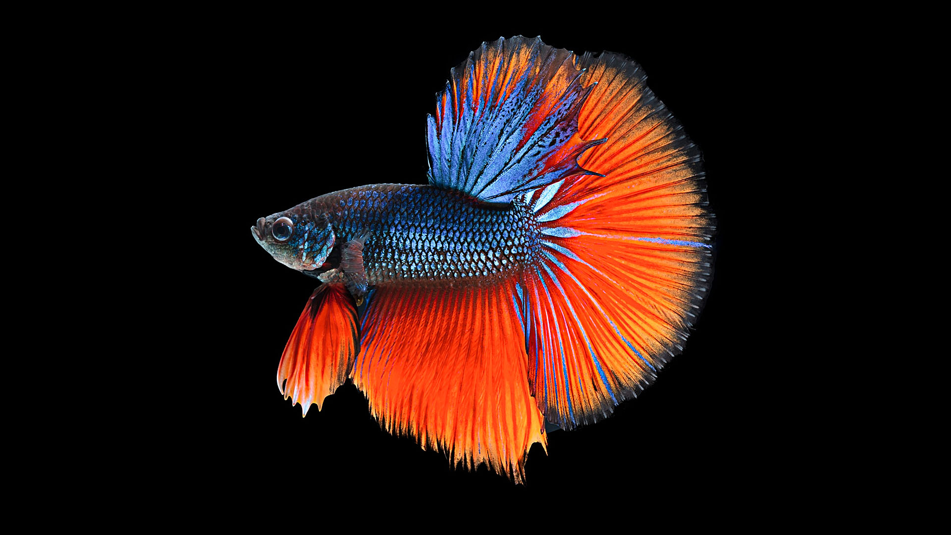 Betta full hd wallpaper and background image 1920x1080 for Where can i buy fish