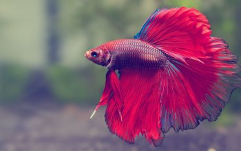 20 Siamese Fighting Fish Hd Wallpapers Background Images
