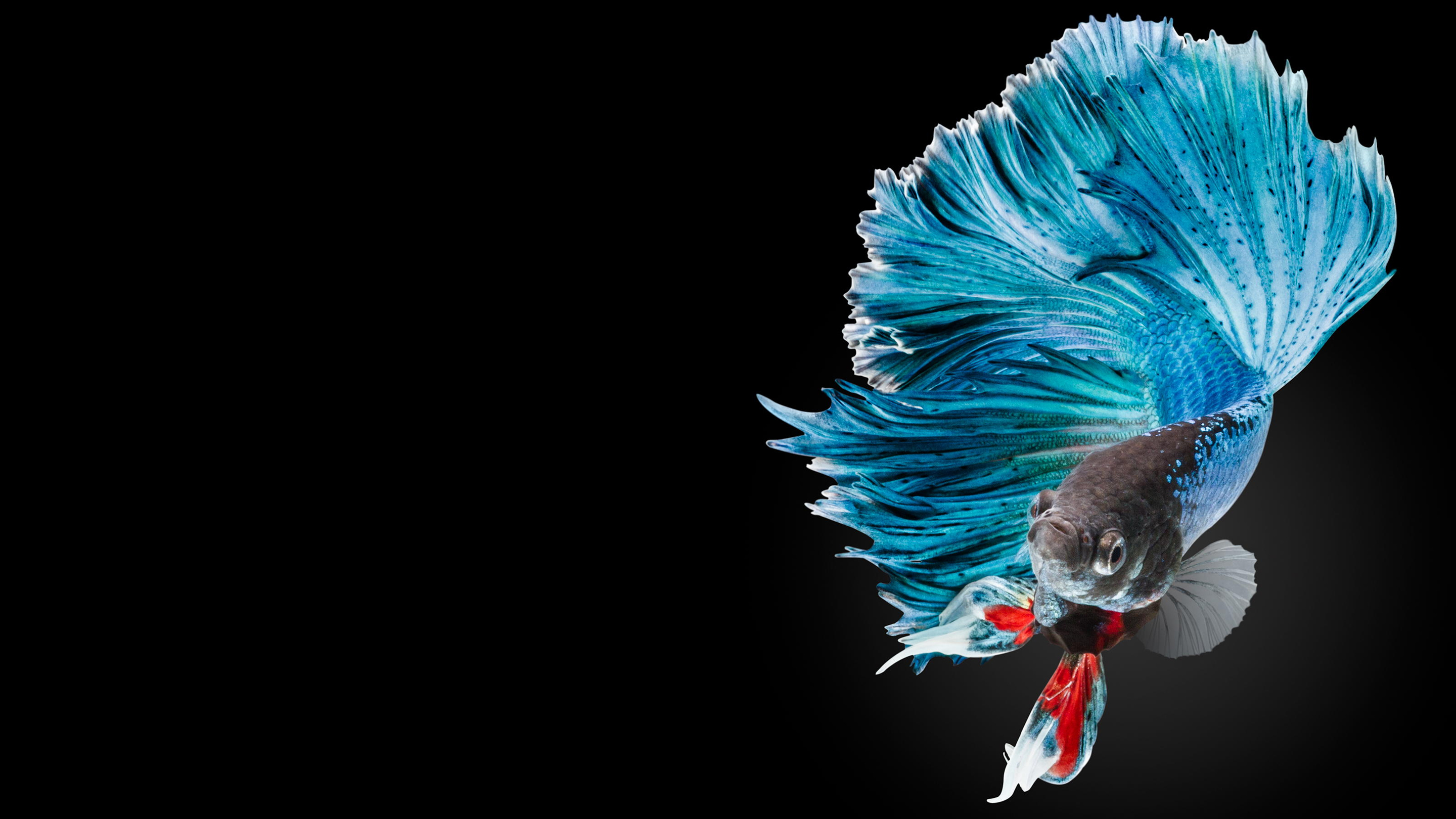 Wallpaper iphone ikan cupang - Apple Iphone 6s Wallpaper With Multicolor Male Betta Fish In Dark
