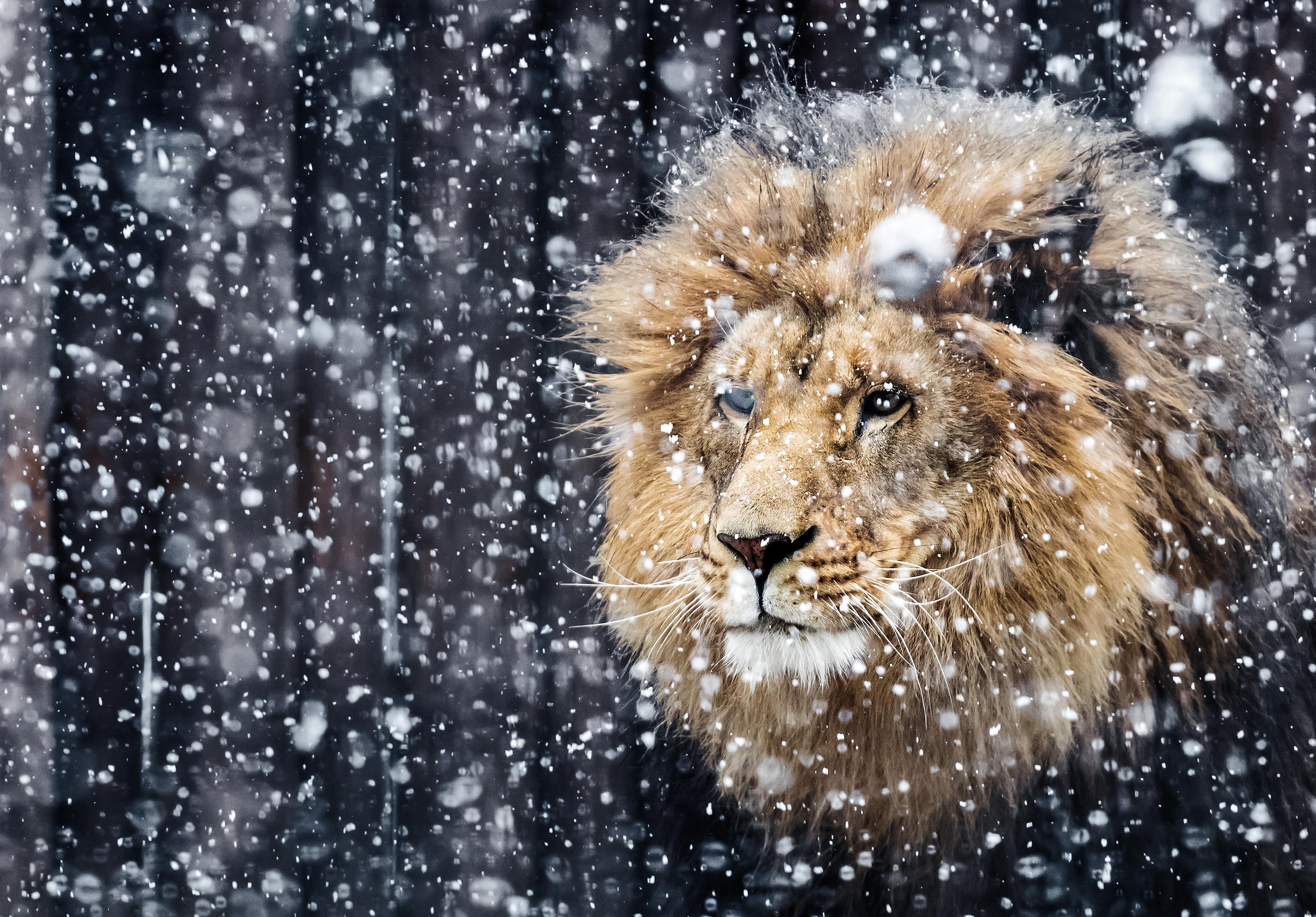 Portrait Of A Beautiful Lion Winter Edition Hd Wallpaper