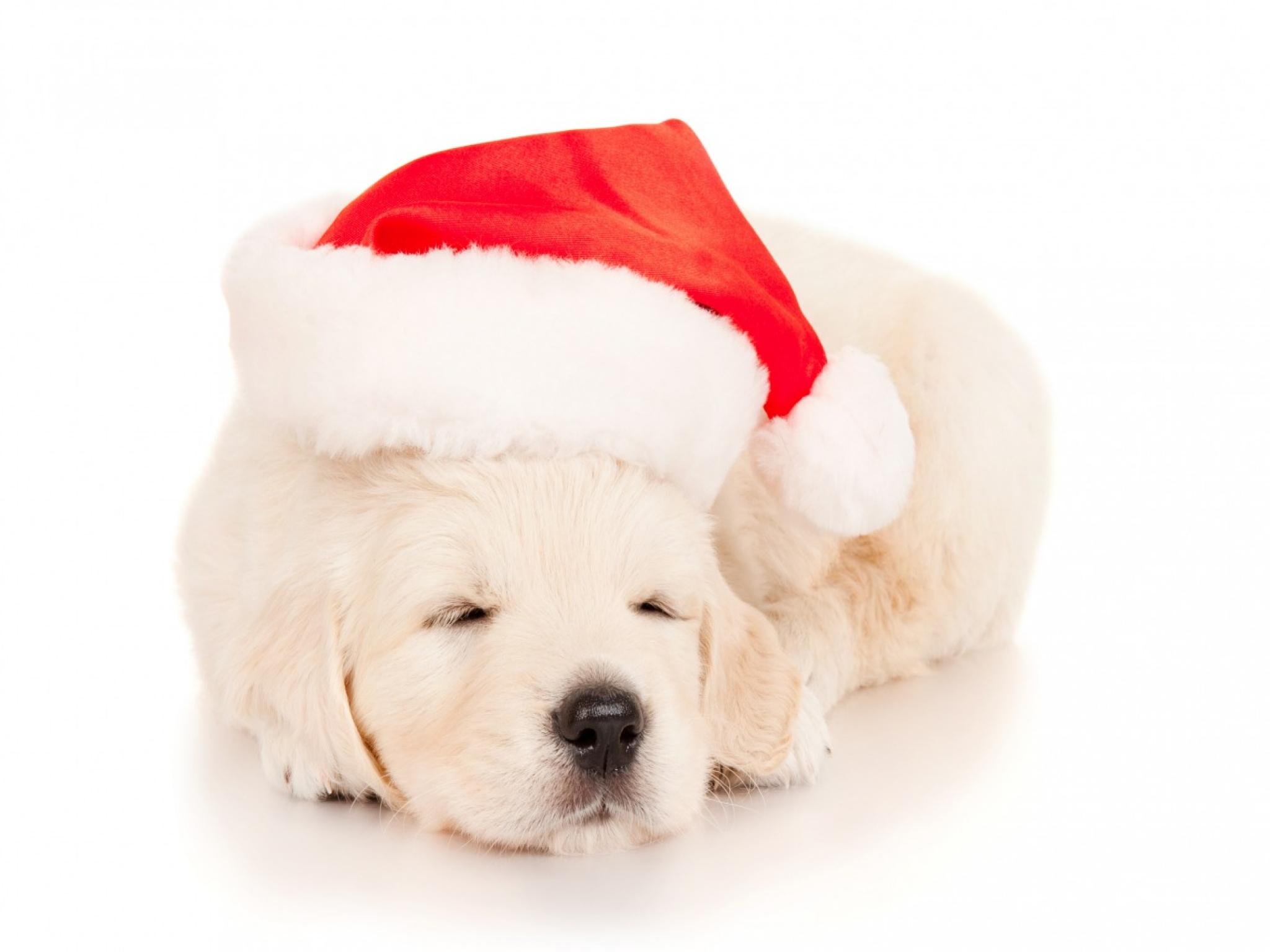 Sleeping Christmas Puppy HD Wallpaper