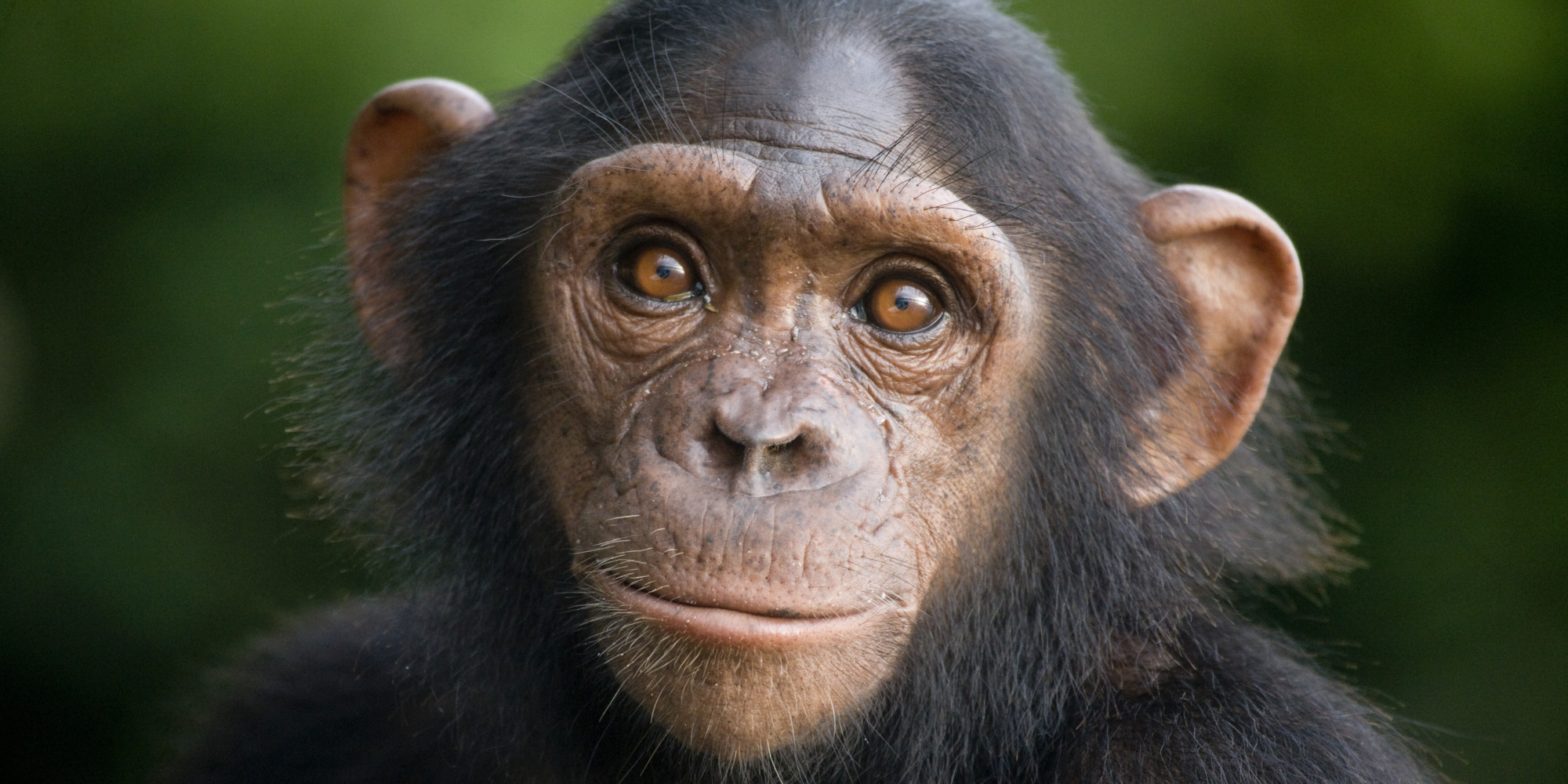 Hd wallpaper png - Gallery For Gt Chimpanzee Face