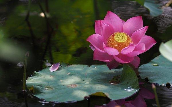 Earth Lotus Flowers Water Lily Flower Pink Flower Water Leaf HD Wallpaper | Background Image