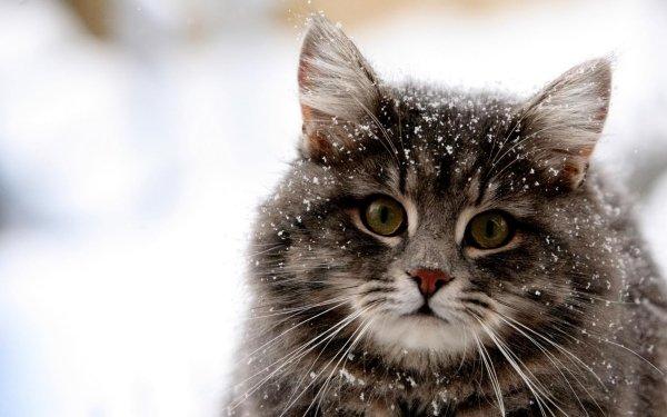 Animal Cat Cats Gray Winter Snowfall HD Wallpaper | Background Image