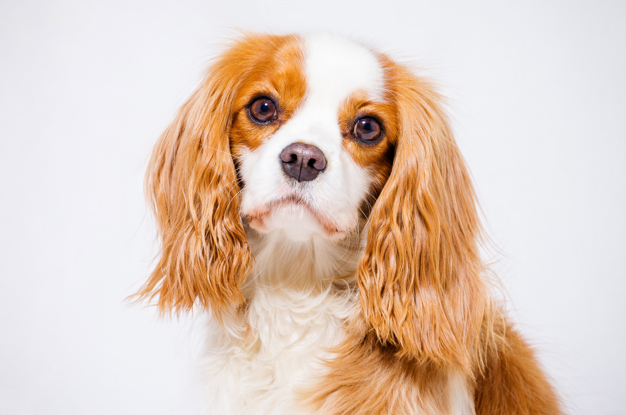Cavalier King Charles Spaniel Hd Wallpaper Background Image