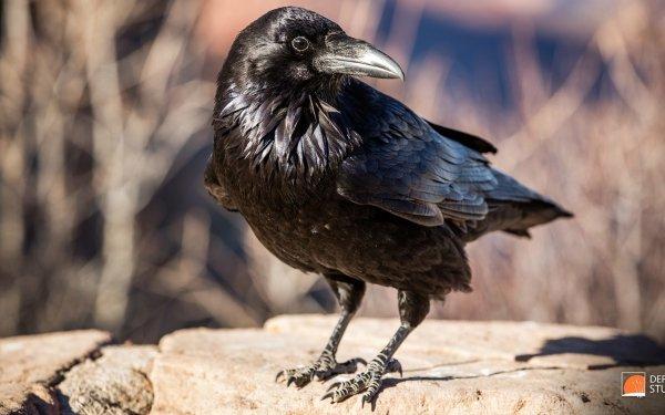 Photography Raven Animal Bird Common Raven HD Wallpaper | Background Image