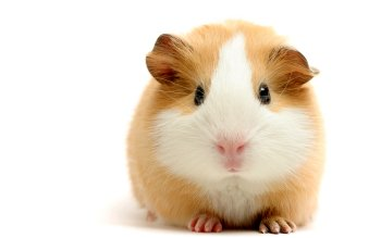 Animal - Guinea Pig Wallpapers and Backgrounds ID : 80327