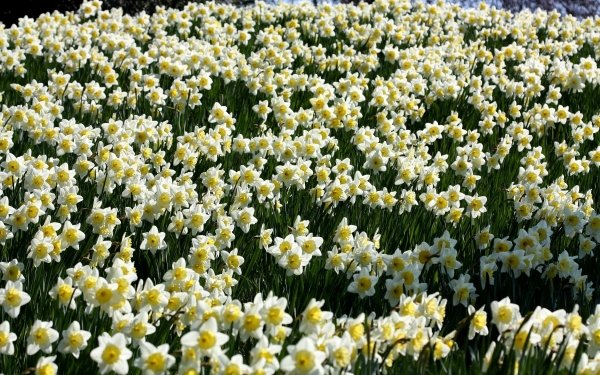 Earth Daffodil Flowers Flower Narcissus White Flower HD Wallpaper | Background Image