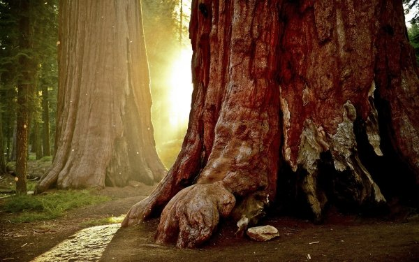 Earth Tree Trees Sequoia HD Wallpaper   Background Image