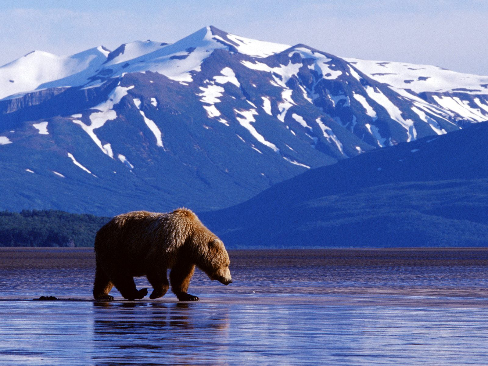 bear in alaska wallpaper and background image | 1600x1200 | id:81097