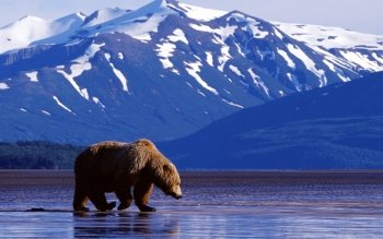Animal - Bear Wallpapers and Backgrounds ID : 81097