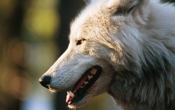 Animal - Wolf Wallpapers and Backgrounds ID : 81289