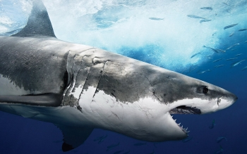 Animal - Shark Wallpapers and Backgrounds ID : 81299