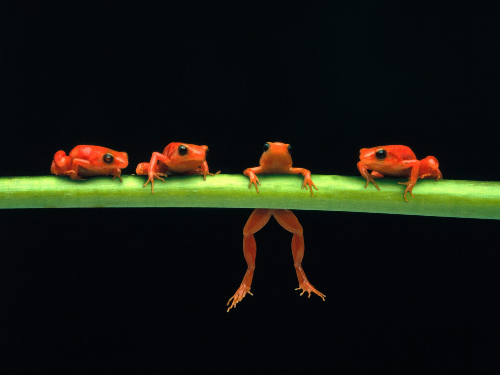 Animal - Frog  Frogs Wallpaper Wallpaper