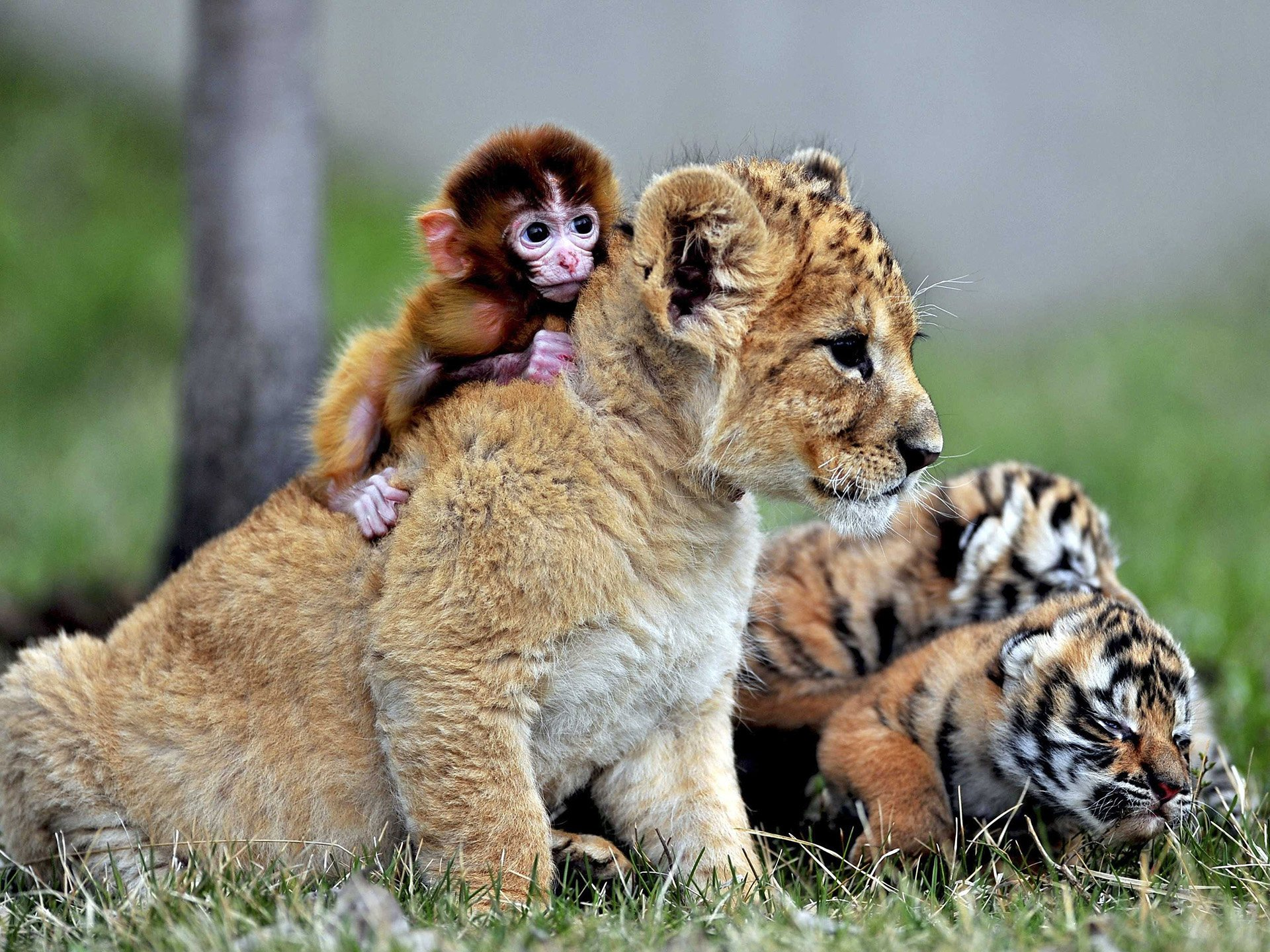 Lion Cub Tiger Cubs And Baby Monkey HD Wallpaper