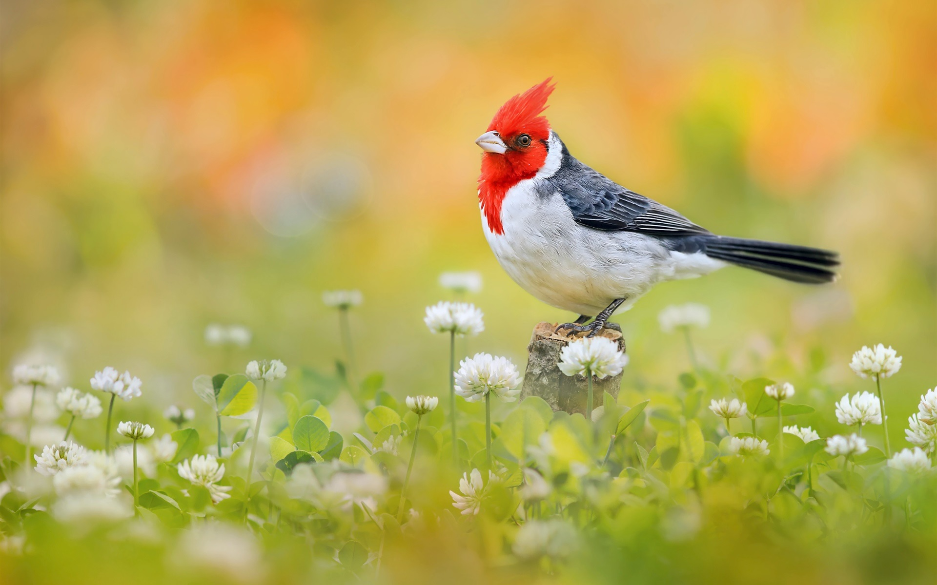 Red-Crested Cardinal HD Wallpaper