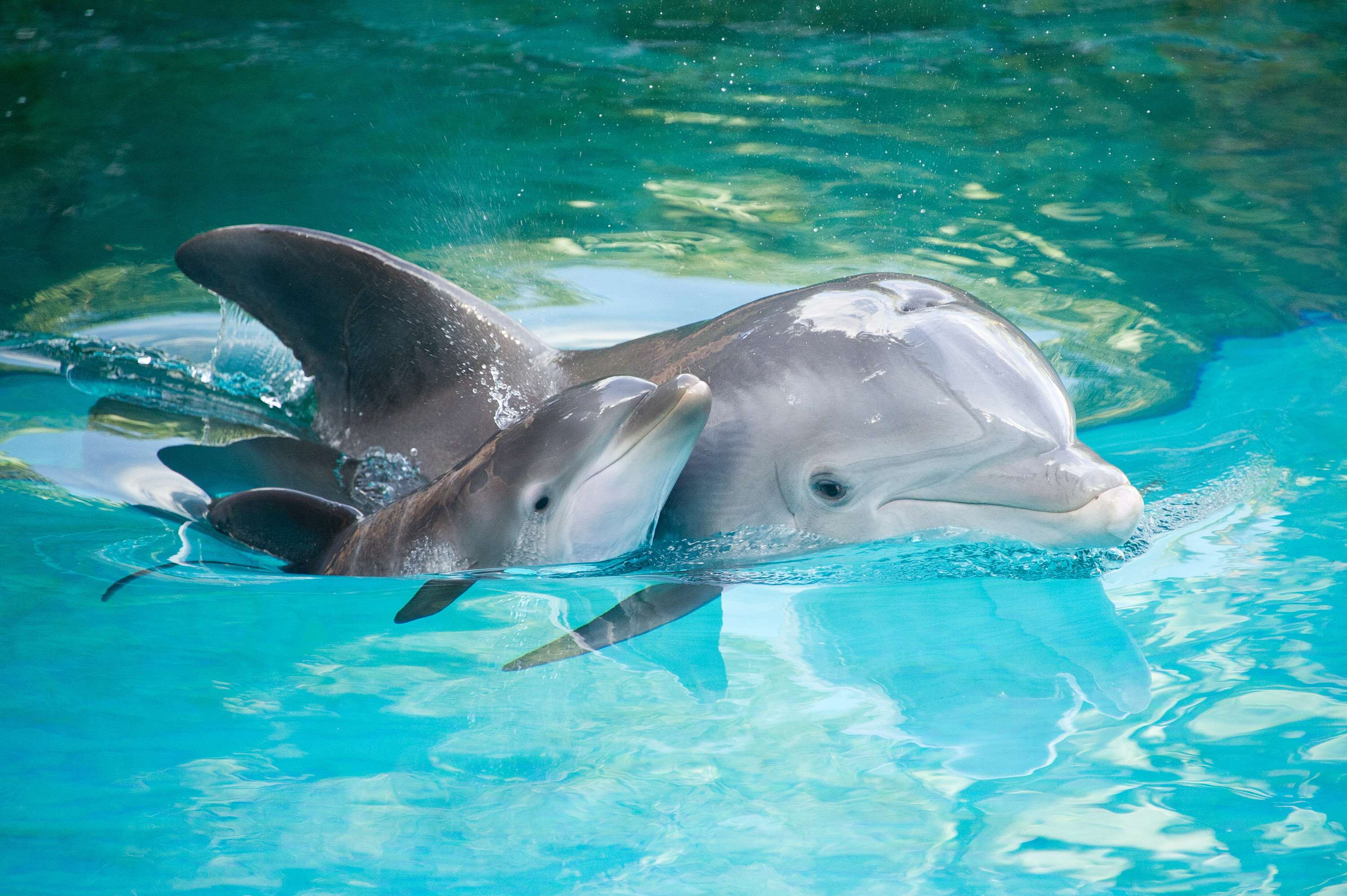 206 dolphin hd wallpapers background images wallpaper abyss hd wallpaper background image id821314 3000x1997 animal dolphin voltagebd Gallery