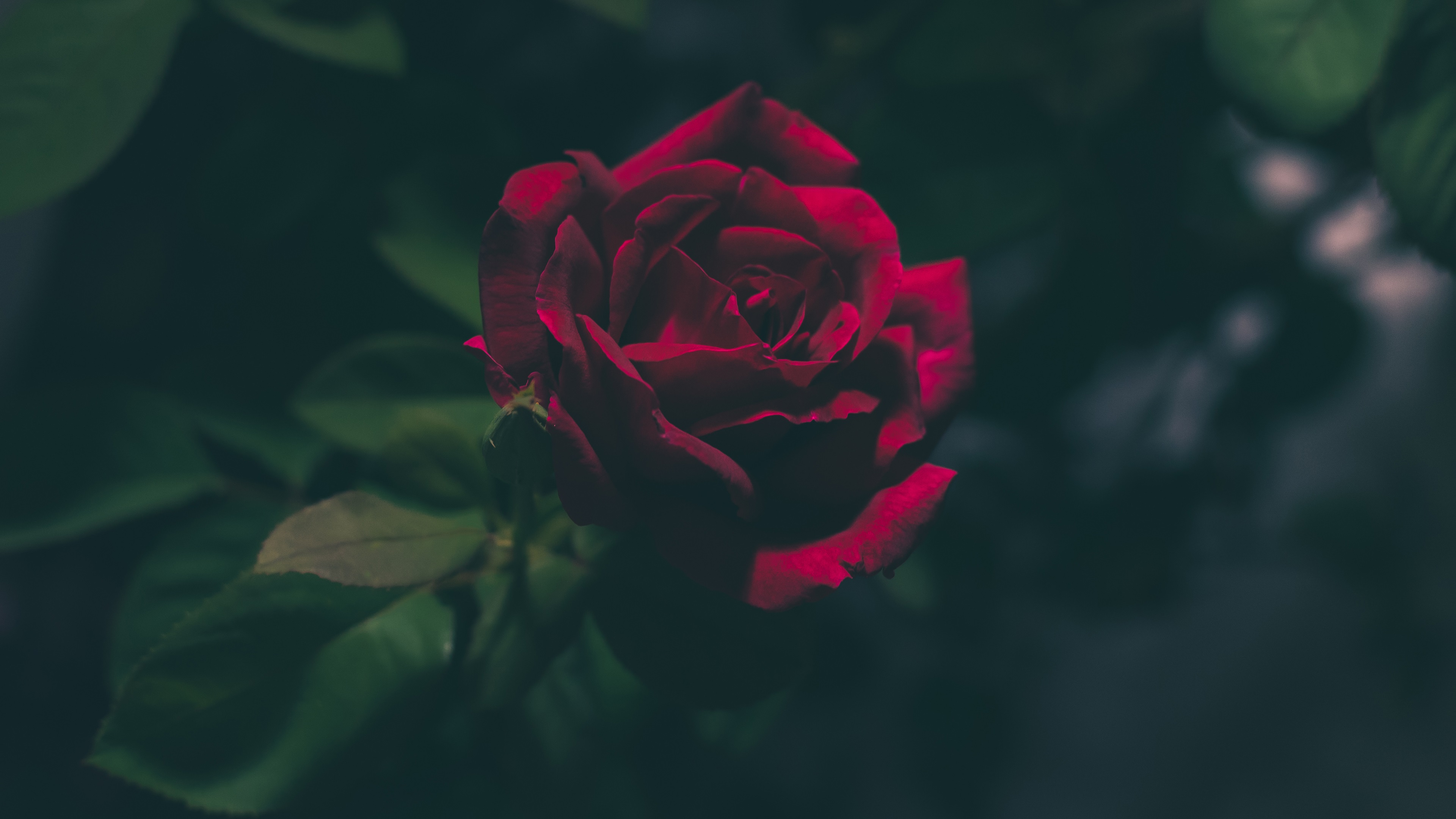 Deep Red Rose 4k Ultra Fond d'écran HD   Arrière-Plan   3840x2160   ID:821317 - Wallpaper Abyss