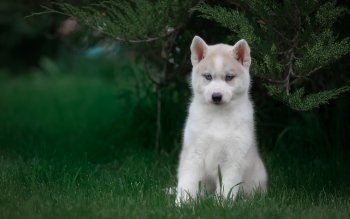 27 4k Ultra Hd Husky Wallpapers Background Images Wallpaper Abyss