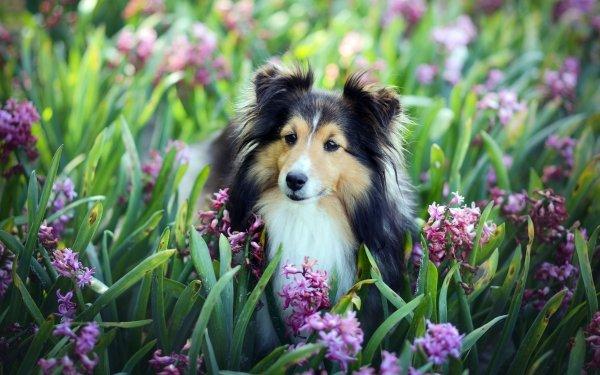 Animal Shetland Sheepdog Dogs Dog Flower Pink Flower HD Wallpaper   Background Image
