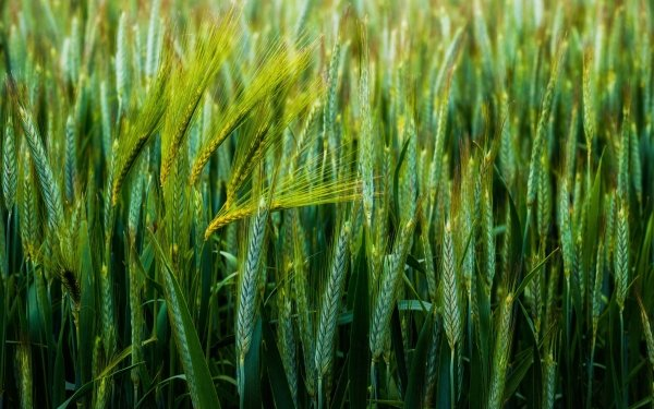 Earth Wheat Nature Summer Plant HD Wallpaper | Background Image