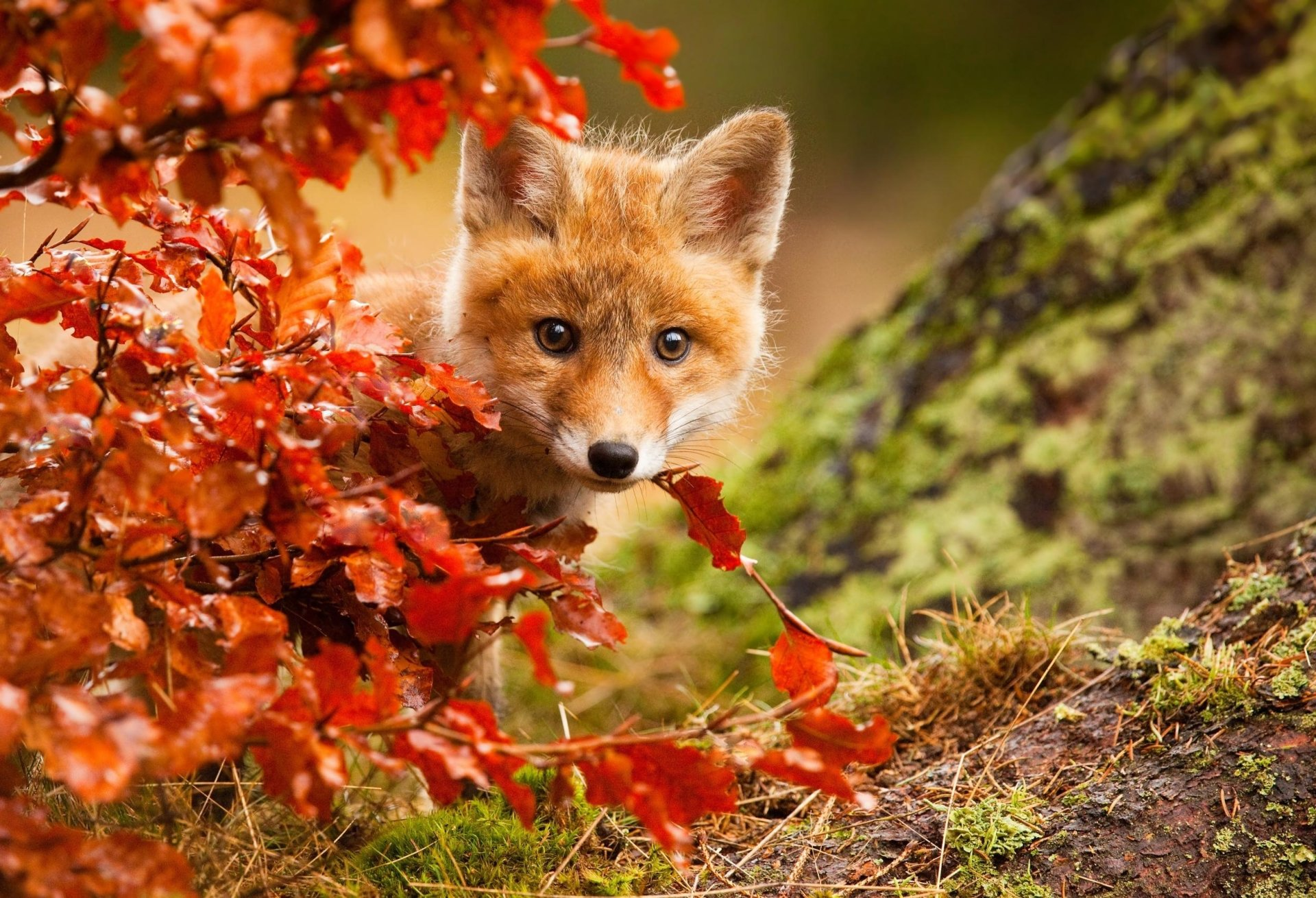 Animal - Fox  Stare Wildlife Baby Animal Cub Fall Cute Wallpaper