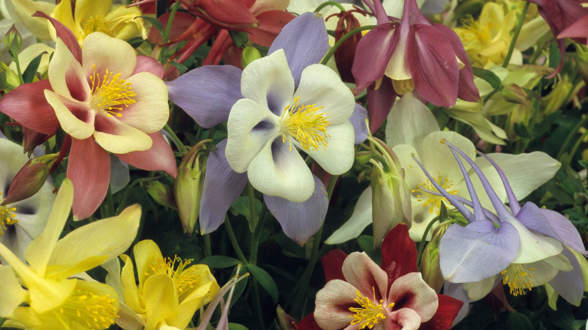 Columbine flowers full hd wallpaper and background image 1920x1080 earth columbine earth flower colors colorful wallpaper izmirmasajfo
