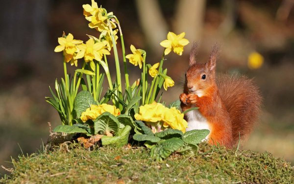 Animal Squirrel Rodent Wildlife Flower Depth Of Field Daffodil Yellow Flower Moss Eating HD Wallpaper | Background Image
