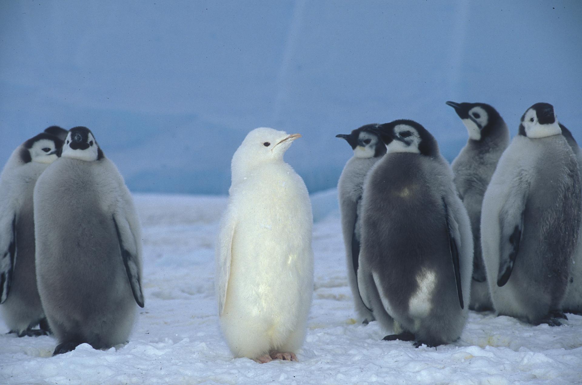 Albino Emperor Penguin HD Wallpaper | Background Image ...