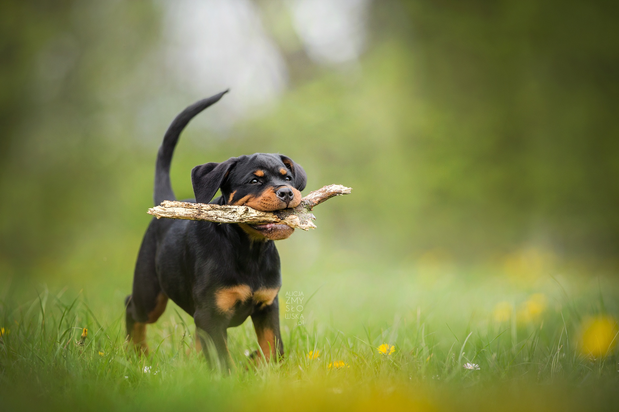 34 Rottweiler Hd Wallpapers Background Images Wallpaper Abyss