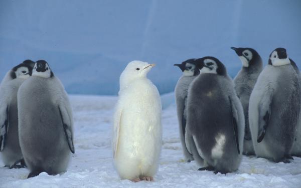 Animal Penguin Birds Penguins Albino Emperor Penguin HD Wallpaper | Background Image