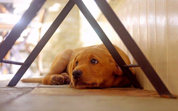 Animaux Labrador Retriever Chiens Golden Retriever Chien Pet Depth Of Field Resting Fond d'écran HD | Arrière-Plan