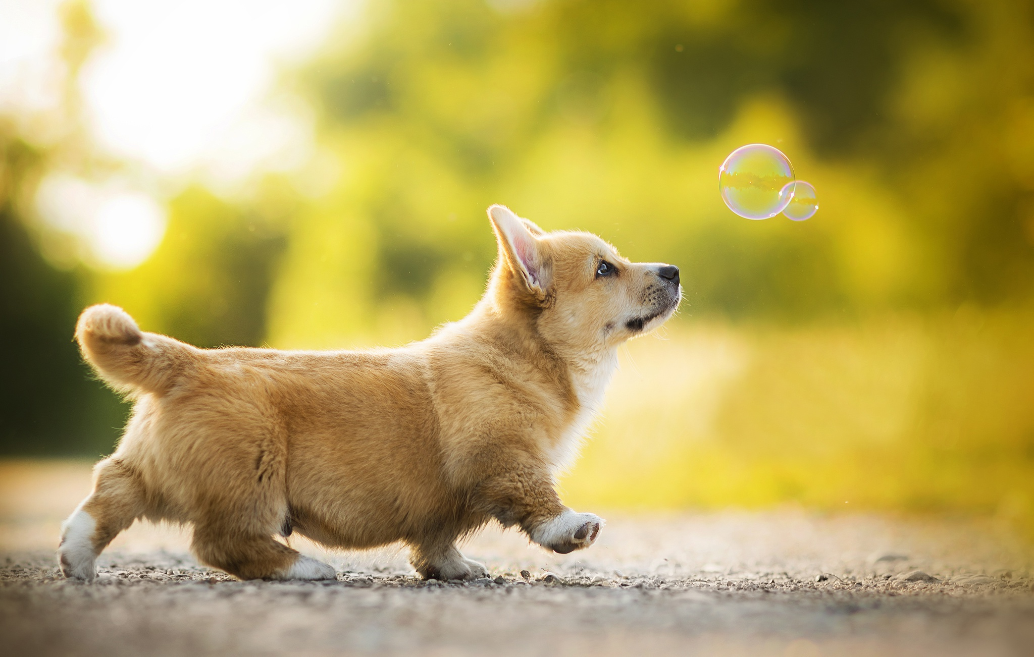 corgi full hd wallpaper and background image 2048x1302