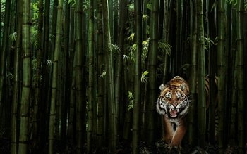 Animal - Tiger Wallpapers and Backgrounds ID : 86765
