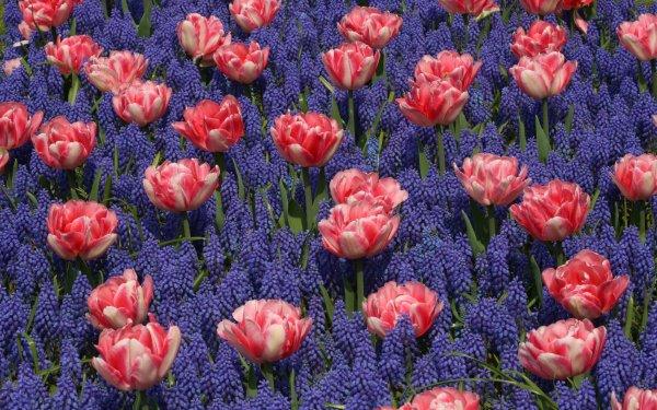 Earth Flower Flowers Tulip Hyacinth Nature Pink Flower Purple Flower HD Wallpaper   Background Image