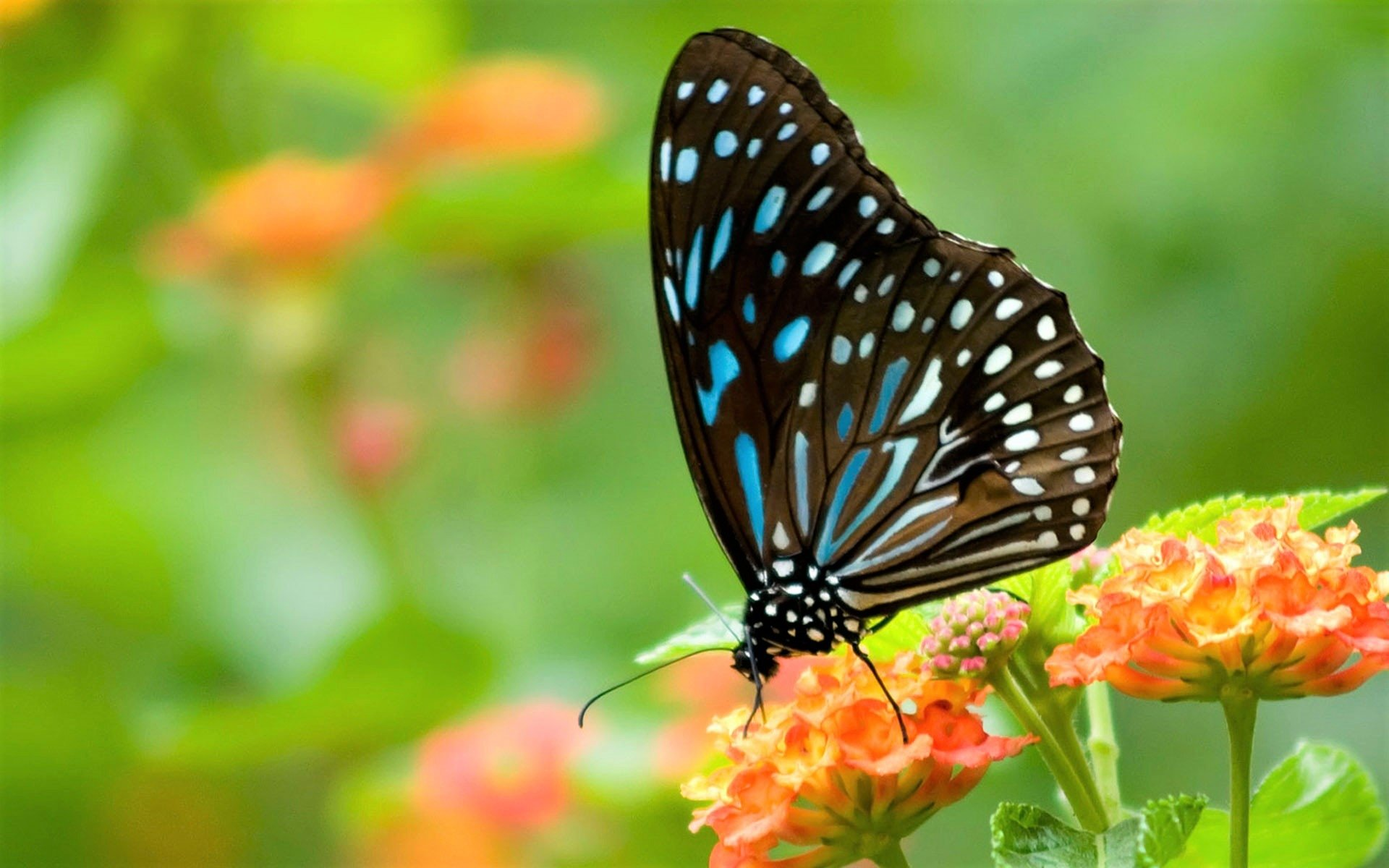 Animal - Butterfly  Insect Macro Flower Animal Wallpaper