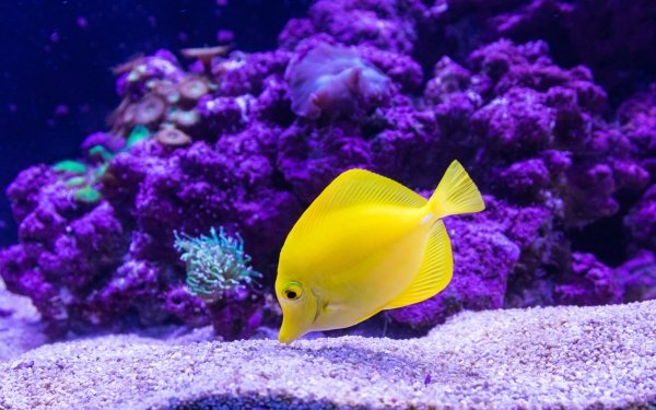 Animal Fish Fishes Tropical Fish Sea Life Yellow Tang HD Wallpaper | Background Image