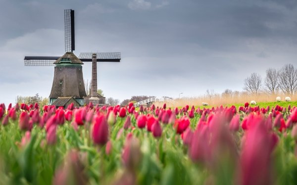 Man Made Windmill Buildings Tulip Pink Flower Flower Sheep Building HD Wallpaper   Background Image