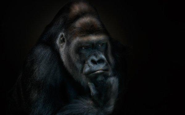 Animal Gorilla Monkeys Primate HD Wallpaper | Background Image