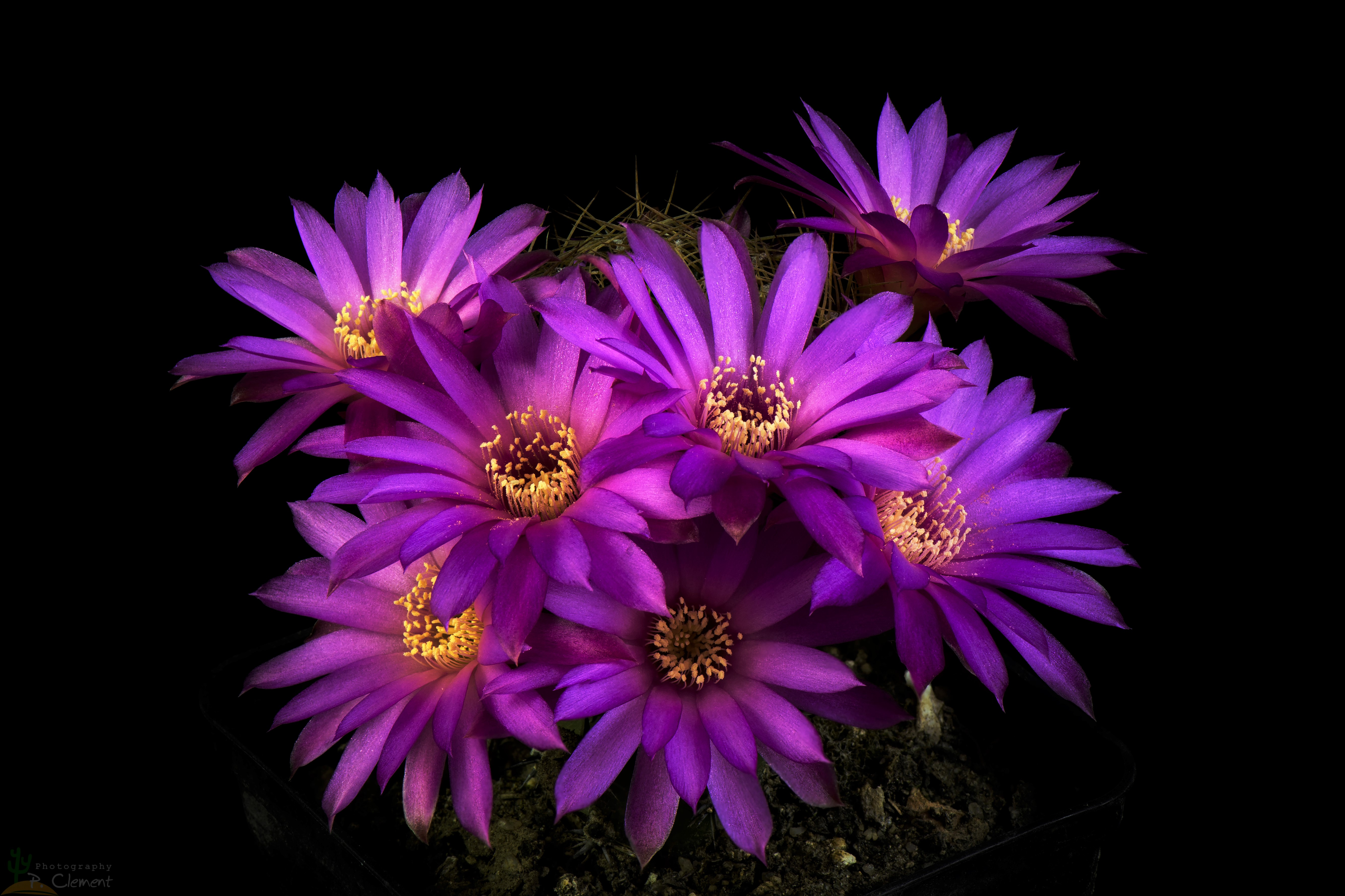 Cactus Flowers 5k Retina Ultra Hd Wallpaper Background Image 5338x3558 Id 879475 Wallpaper Abyss