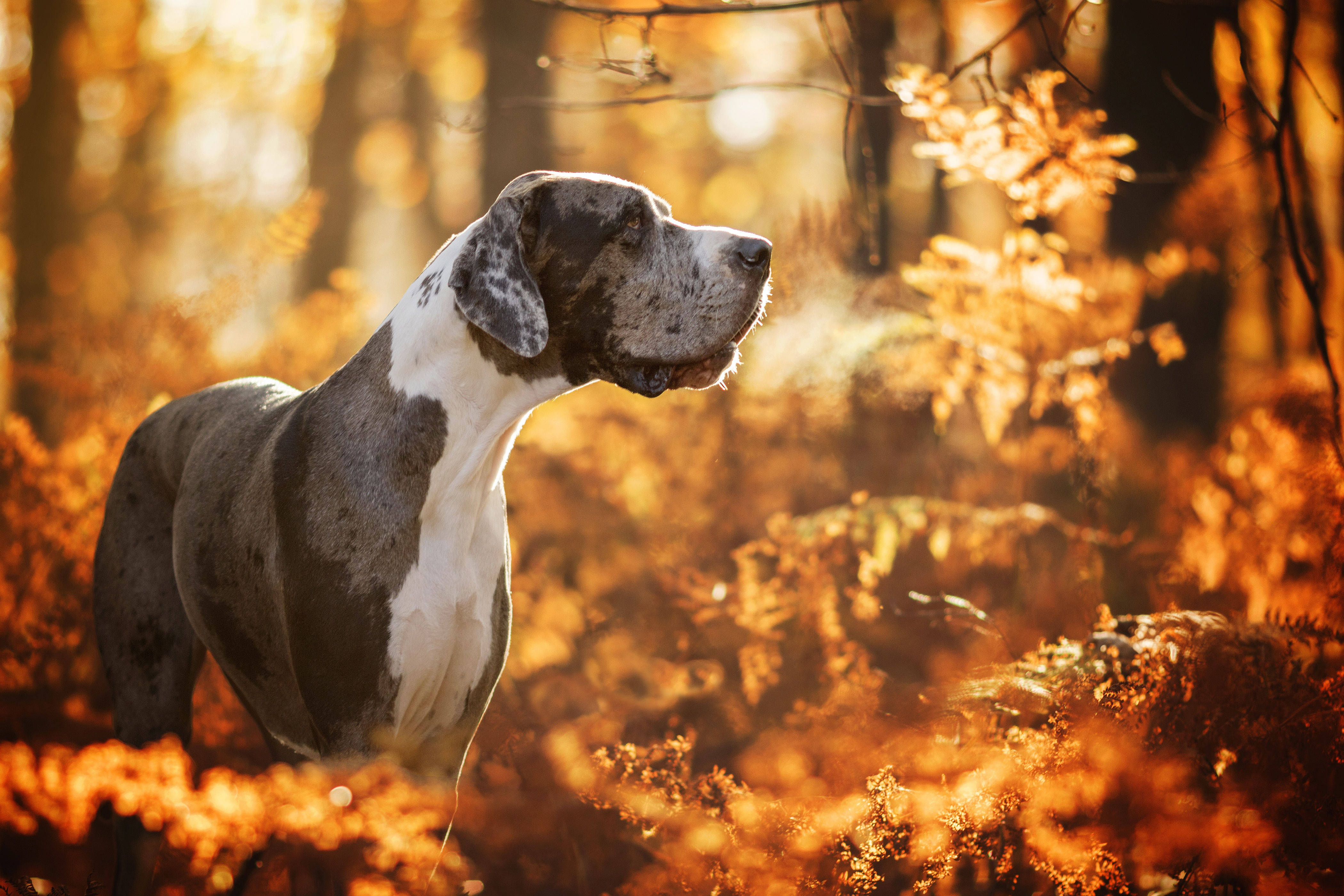 Great Dane Dog Wallpapers: Great Dane 4k Ultra HD Wallpaper