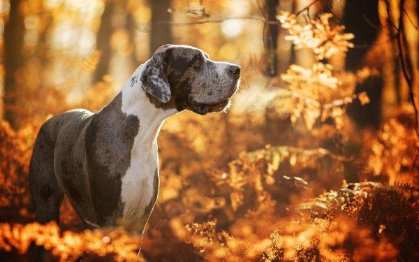 Animal Great Dane Dogs Dog Pet Fall Depth Of Field HD Wallpaper   Background Image